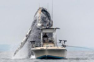 Clip: Cá voi khổng lồ tung mình lên cao, suýt rơi trúng thuyền ngư dân