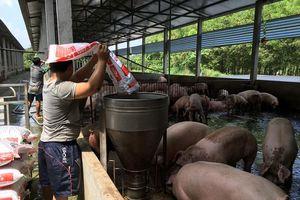 Xuất hiện dịch tả lợn châu Phi tại 3 tỉnh phía Nam