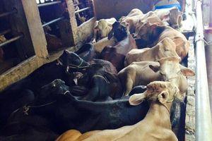 Gia súc lớn sẽ là 'hướng mở' mới cho ngành chăn nuôi