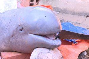 Ngư dân trên sông Cổ Chiên bắt được cá heo nặng 150kg