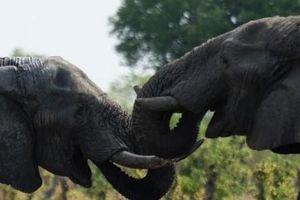 Zimbabwe 'hốt bạc' từ bán voi cho Trung Quốc, Dubai