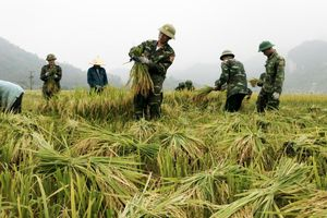 BĐBP Nghệ An giúp dân thu hoạch mùa