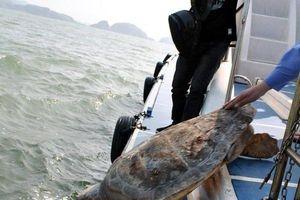 Bà Rịa Vũng Tàu: Thả hai cá thể rùa biển quý hiếm về biển