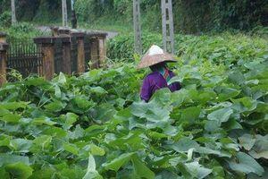Vĩnh Phúc: Xây dựng thương hiệu, nhãn hiệu nông sản hàng hóa