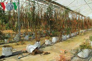 Nông nghiệp Tây Nguyên: Khi doanh nghiệp làm nông như làm xiếc