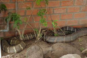Cặp rắn hổ mang chúa ở An Giang