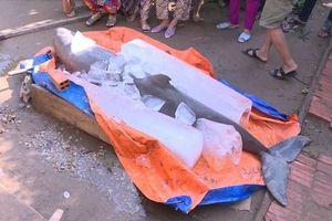 Ngư dân Bến Tre bắt được cá heo sắp tuyệt chủng