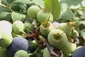 Thích ăn 'quả quý tộc' bèn về quê tự trồng, vừa ăn vừa bán, kiếm được vài trăm triệu/năm
