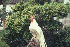 Giống gà đuôi dài 2,5m giá tới trăm triệu đồng/con tại Tây Ninh có gì đặc biệt?