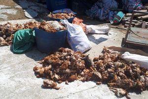 Hà Tĩnh: Trại gà bị tấn công trong đêm khiến hơn 1.200 con gà bị chết