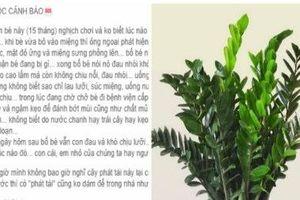 Cha mẹ trồng cây kim phát tài trong nhà, con nhập viện cấp cứu vì ngộ độc