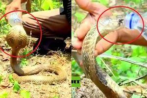 Clip: Kinh ngạc cảnh rắn hổ mang ngoan ngoãn uống nước từ tay người