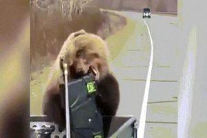 Gấu khổng lồ chuyên ăn cướp, ăn xin người đi đường