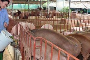 Hà Nội quyết không để dịch tả lợn châu Phi ảnh hưởng xây dựng NTM