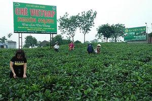 Phát triển thương hiệu chè Thái Nguyên