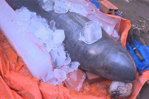 Quyết định của ngư dân bắt được 'cá nược' quý hiếm nặng 150kg