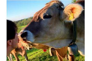 Hôn bò - thử thách làm từ thiện gây tranh cãi
