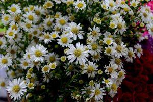 Bài thuốc giải độc, trừ lo âu, trị ho siêu hiệu quả từ hoa cúc