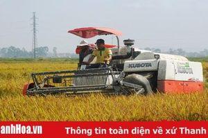Huyện Nông Cống thu hoạch 40% diện tích lúa chiêm xuân