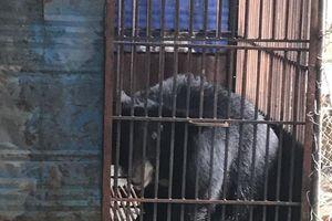 Tịch thu và chuyển giao 2 cá thể gấu ngựa bị nuôi nhốt trái phép