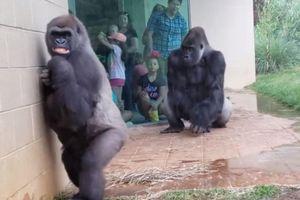 Du khách thích thú xem khỉ đột trú mưa với biểu cảm bất ngờ