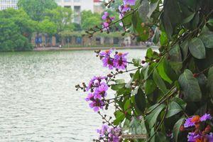 Ngắm hoa bằng lăng nở tím trời Hà Nội