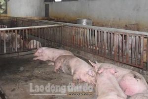 Hà Nội: 362 xã, phường, thị trấn xuất hiện bệnh dịch tả lợn châu Phi