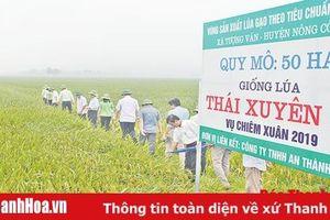 Cánh đồng sản xuất lúa theo tiêu chuẩn VietGap tại xã Tượng Văn đạt năng suất gần 8 tấn/ha