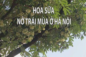Người Hà Nội ngỡ ngàng vì hoa sữa nở trái mùa nở nồng nàn giữa tháng Năm