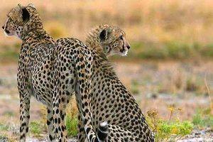 Linh dương đực một mình đánh bại mẹ con báo săn