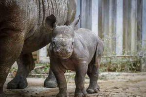 Tiêm thuốc độc vào sừng tê giác để chống săn bắt trộm