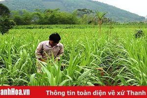 Huyện Thạch Thành tập trung chăm sóc cây mía tím