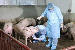 Ban Bí thư ra chỉ thị về phòng, chống, khống chế dịch tả lợn châu Phi