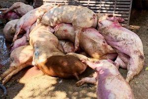 Thêm ổ dịch thứ 4, Hậu Giang gồng mình chống dịch tả lợn Châu Phi