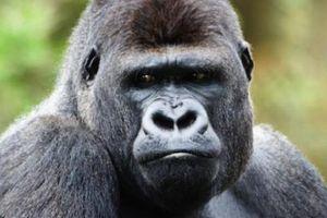 Khỉ đột 'đưa tang', tỏ lòng tiếc thương với đồng loại chết