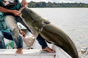 Bất ngờ với hình ảnh cá hải tượng khổng lồ 'sa lưới' ngư dân Brazil