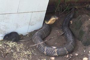 Cặp rắn hổ mây 'khủng' được thả về núi Cấm