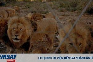 Sự thật đằng sau 'ngành công nghiệp sư tử' tại Nam Phi