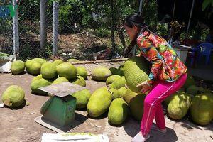 Nông dân ồ ạt bỏ lúa trồng cây, tái diễn 'chạy' theo phong trào