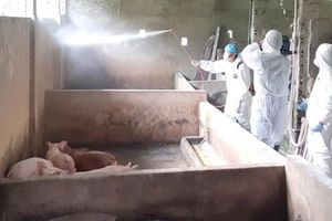 Xuất hiện dịch tả lợn châu Phi tại Hà Giang