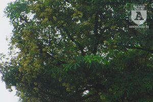 Hoa sữa bung nở giữa nắng nóng 45 độ, đung đưa bay trên phố Hà Nội
