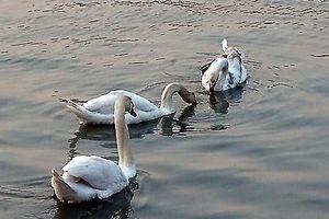 Thiên nga Hải Phòng bơi cùng bánh mì trên sông Tam Bạc
