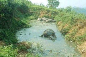 Lên đồi kiểm tra, phát hiện cả đàn trâu chết trương phềnh dưới vũng nước