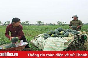 Dưa hấu vụ xuân hè tại huyện Nga Sơn được mùa, được giá