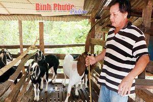 Bình Phước: Giá hạt tiêu 'gầy' thê thảm, nhưng đàn dê lại béo tốt nhờ trụ cây keo