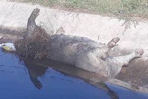 Người dân bức xúc phát hiện lợn chết bị vứt ở mương thủy lợi