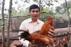 Khuyết tật từ nhỏ, 'Vua gà' lấy 2 bằng đại học và sáng tạo mô hình gà dược liệu