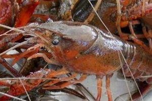 Tôm càng đỏ đã nuôi thử nghiệm ở Việt Nam, do hung dữ nên bị cấm