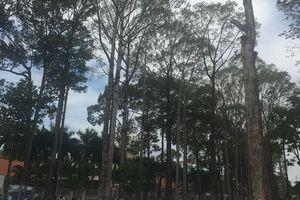 Cây cổ thụ chết hàng loạt trong công viên