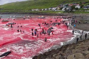 Nước biển Faroe nhuộm màu đỏ tươi kinh dị với tập tục tàn sát cá voi